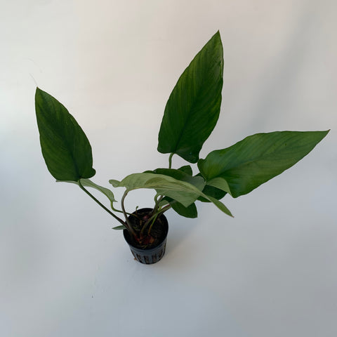 Anubias hastifolia (potted)