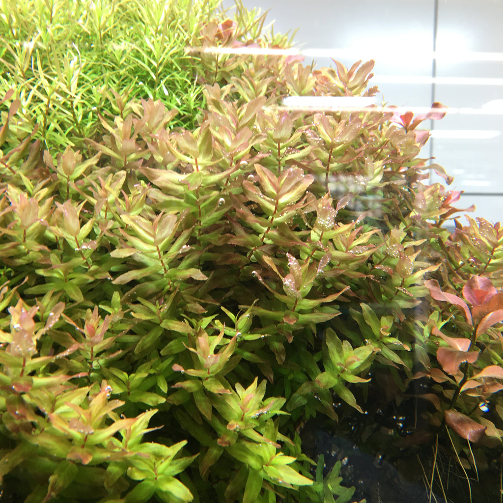 IC038 ADA Tissue Culture  - Rotala Macrandra 'Green' (cup size: tall)