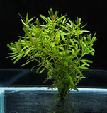 IC439 ADA Tissue Culture  - Rotala sp 'Ceylon' (cup size: tall)