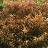 IC024 ADA Tissue Culture  - Rotala Rotundifolia