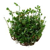 Tropica Aquarium Plants: Marsilea Crenata (TC)  Tropica 1-2-Grow!