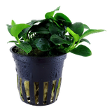 Tropica Aquarium Plants: Anubias sp. 'Petitie' potted