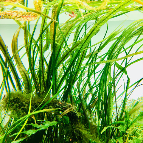 IC098 ADA Tissue Culture Cryptocoryne Balansae (cup size: tall)