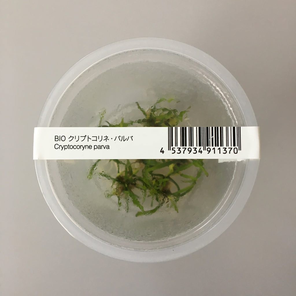 IC093 ADA Tissue Culture  - Cryptocoryne parva (cup size: tall)