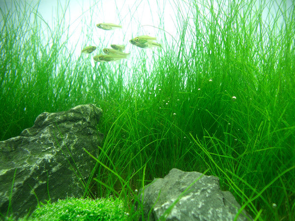 IC298 ADA Tissue Culture Plant - Eleocharis Acicularis (cup size: tall)