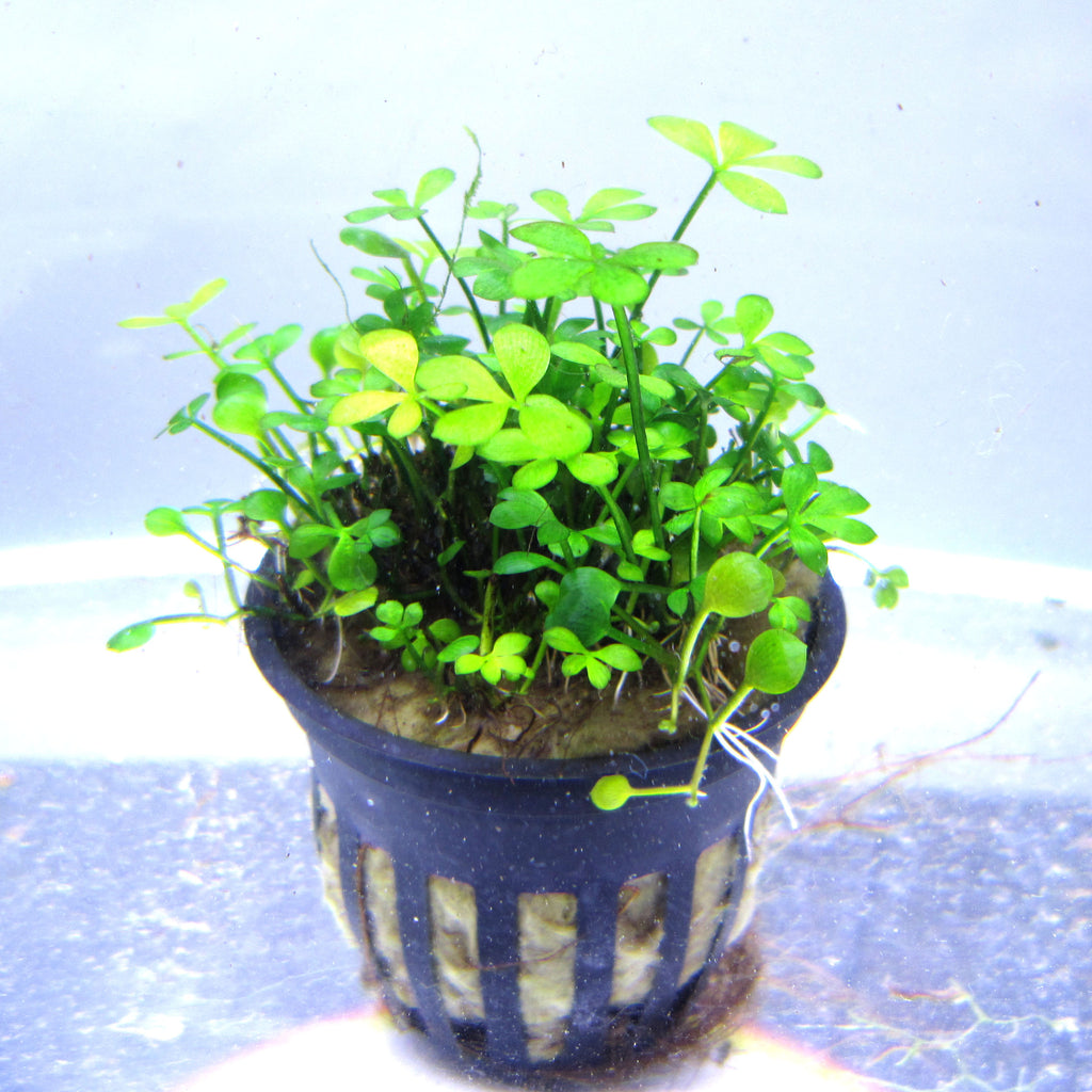 Marsilea quadrifolia (Four Leaf Clover)  potted