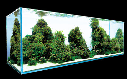 IC202 ADA Tissue Culture Hygrophila pinnatifida (cup size: tall)