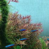 IC039 ADA Tissue Culture  - Rotala sp 'Pink' (cup size: tall)