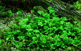 Tropica Aquarium Plants: Marsilea Hirsuta (TC)  Tropica 1-2-Grow!