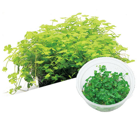 IC014 ADA Tissue Culture Hydrocotyle tripartita (cup size: short)