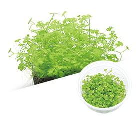 "IC203 ADA Tissue Culture Hydrocotyle tripartita ""mini"" (cup size: short)"