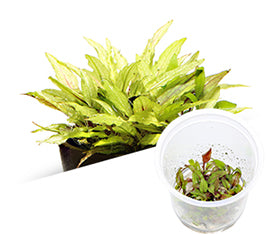 "IC099 ADA Tissue Culture Cryptocoryne Wendtii ""Green Gecko"" (cup size: tall)"