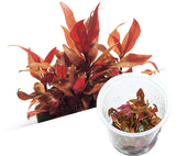 "IC408 ADA Tissue Culture Plant - Alteranthera Reineckii ""Mini""  (cup size: tall)"