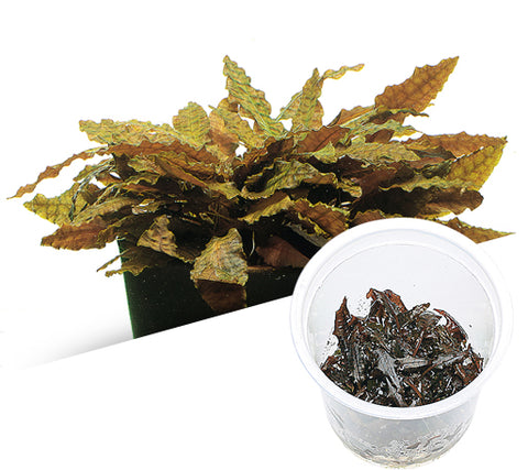 "IC095 ADA Tissue Culture - Cryptocoryne Wendtii ""tropica"" (cup size: tall)"