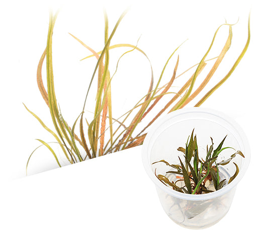 IC195 ADA Tissue Culture Cryptocoryne spiralis 'red' (cup size: tall)