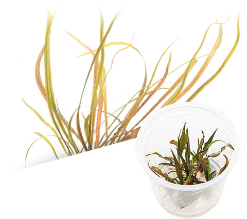 IC195 ADA Tissue Culture  - Cryptocoryne spiralis 'red' (cup size: tall)