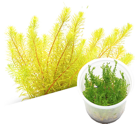 IC392 ADA Tissue Culture  - Rotala sp 'Bangladesh' (cup size: tall)