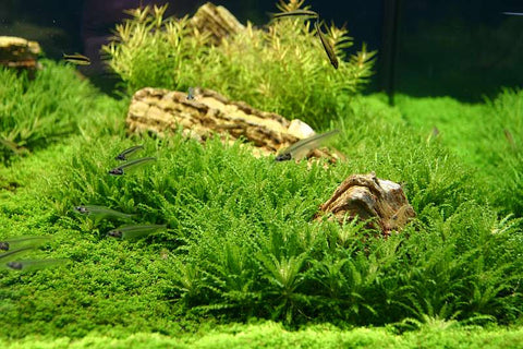 IC035 ADA Tissue Culture  - Pogostemon helferi (cup size: small)