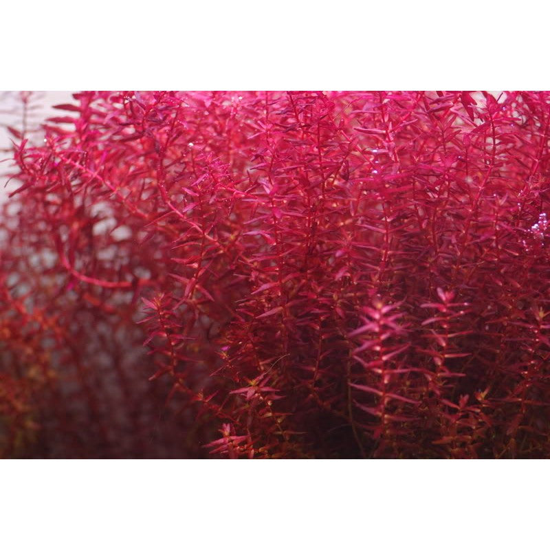 IC 438 ADA Tissue Culture   Rotala Macrandra sp. mini butterfly (cup size: tall)