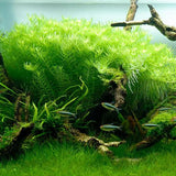 IC011 ADA Tissue Culture  - Rotala rotundifolia green (cup size: short)