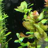 IC224 Tissue Culture  - Rotala Shimoga (cup size: tall)