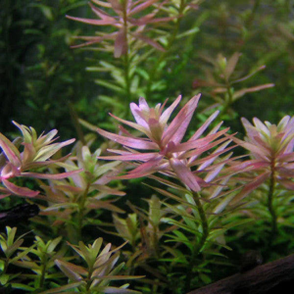 IC039 ADA Tissue Culture Rotala sp 'Pink' (cup size: tall)