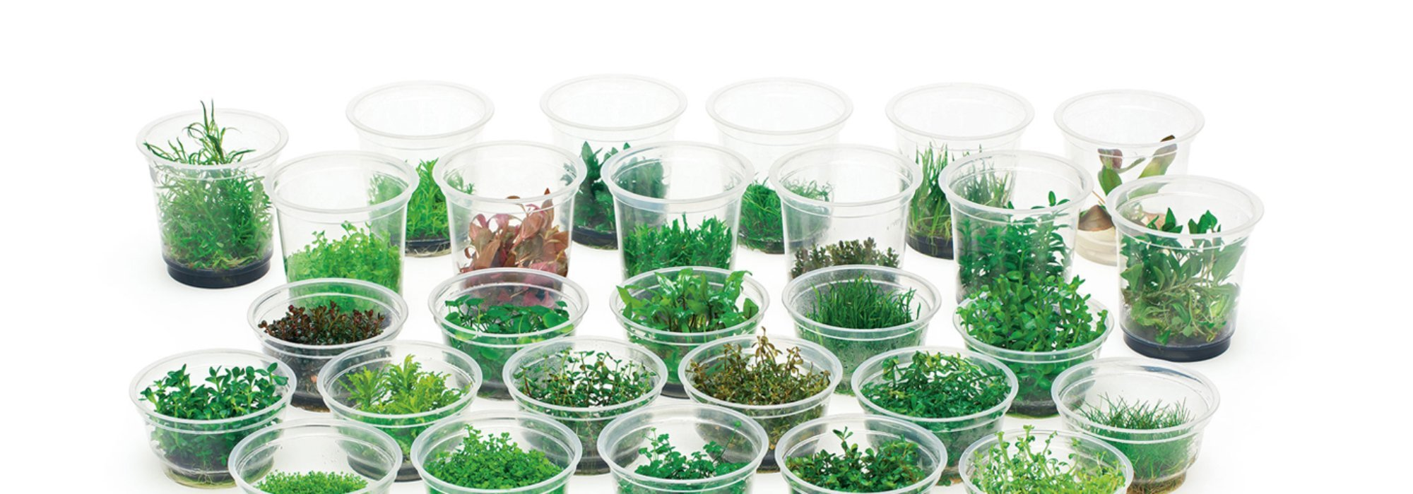 ADA TISSUE CULTURED AQUATIC PLANTS