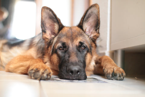Dog Breeds That Are More Susceptible To Get Cancer