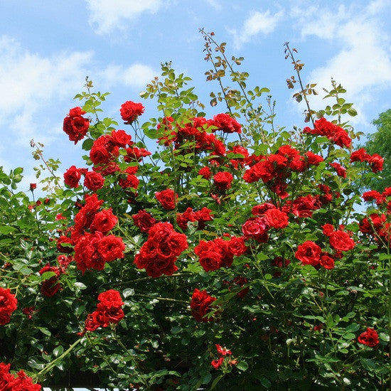 Rose Bush - Red (Montana Rose)