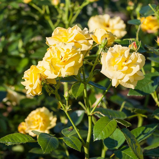 Rose Bush - Yellow (Pacific Serenade Rose)
