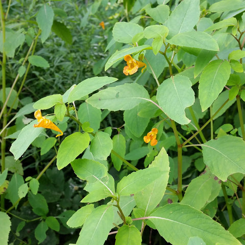 Jewelweed Juice (Organic, Natural Poison Ivy Therapy Spray)
