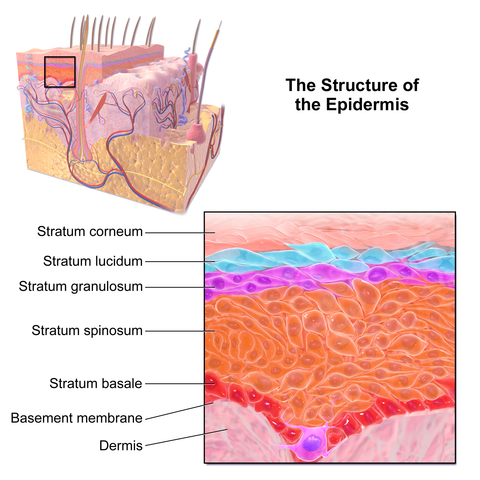 Dehydrated skin: layers