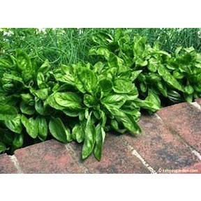 Renee's Garden Italian Cameo Large Leaf Container Basil - Basil - Rogue Hydro - 2