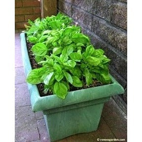 Renee's Garden Italian Cameo Large Leaf Container Basil - Basil - Rogue Hydro - 3