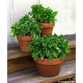 Renee's Garden Italian Cameo Large Leaf Container Basil - Basil - Rogue Hydro - 4