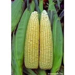 Renee's Garden Casino Sweet Early Corn - Corn - Rogue Hydro - 4