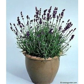 Flowers - Renee's Garden Container Herbs French Perfume Lavender
