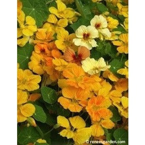 Renee's Garden Mounding Nasturtiums Cup of Sun - Flowers - Rogue Hydro - 5