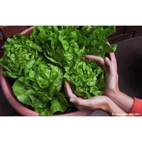 Renee's Garden Container Lettuce Garden Babies Butterhead - Greens - Rogue Hydro - 5