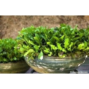 Renee's Garden Cut and Come Again Baby Mesclun Lettuces - Greens - Rogue Hydro - 5