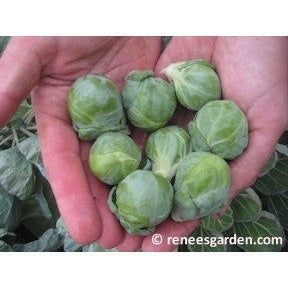 Renee's Garden Hestia Brussel Sprouts - Greens - Rogue Hydro - 5