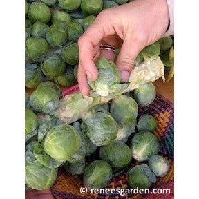 Renee's Garden Hestia Brussel Sprouts - Greens - Rogue Hydro - 7
