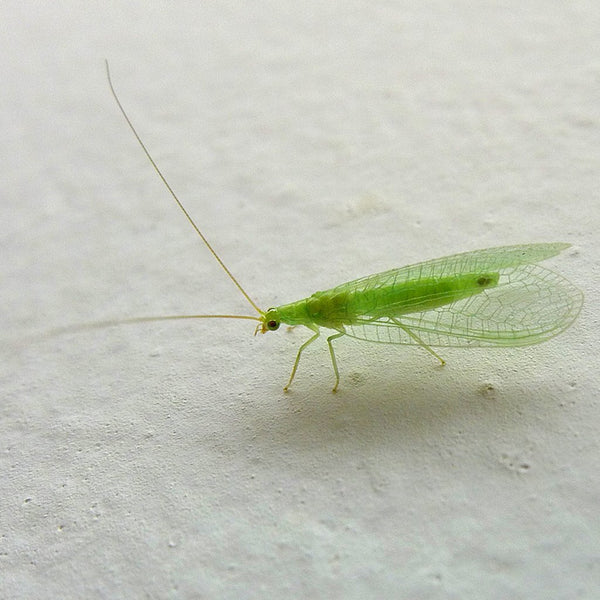 Orcon Green Lacewings 1,000 Eggs Mailback - Live Insects Redemption - Rogue Hydro - 2