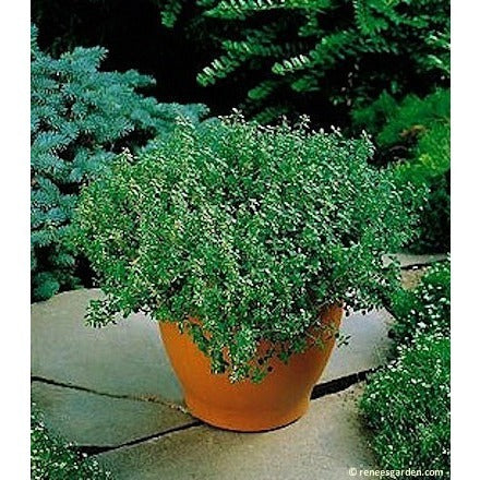 Renee's Garden Thyme, French Culinary - Thyme - Rogue Hydro - 3