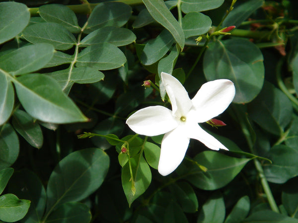 Jasmine Grandiflorum, The Story of Indole in natural perfumery