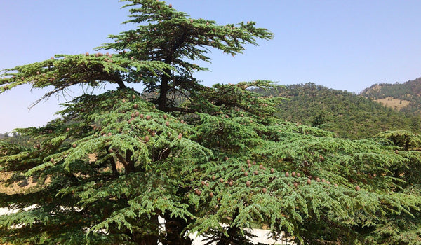 Sustainable cedar essential oil sourcing