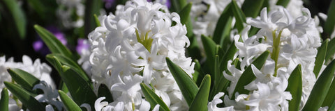 Hyacinth contains high levels of indole