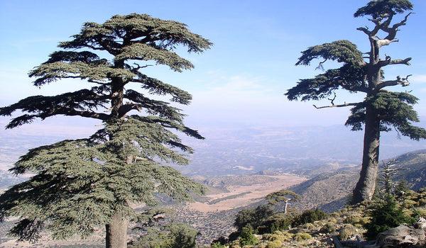 Sustainable sources of Moroccan atlas cedar wood oil