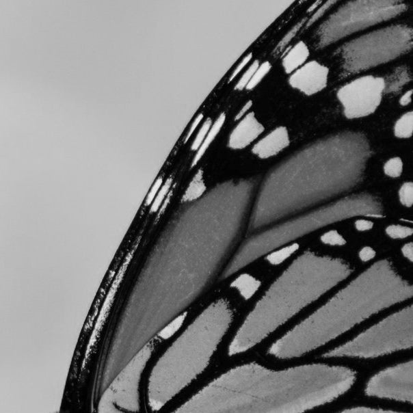 Monarch butterfly wing perfume
