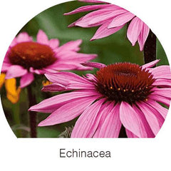 Echinacea Herbal Goodness Super Herb